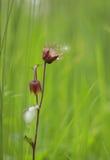 Avens воды засуя семя Стоковое Фото