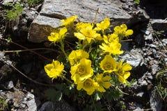 Avens alpino di strisciamento di Reptans del Geum del fiore, la valle d'Aosta, Italia Fotografie Stock Libere da Diritti