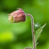 Avens d'eau, fleur de rivale de geum avec le petit macro de duvet sur un fond brouillé, DOF peu profond, foyer sélectif Photo stock