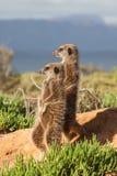 Aventuras de Meerkat Foto de archivo libre de regalías