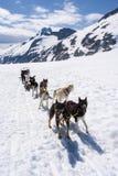 Aventure Sledding de chien Image libre de droits