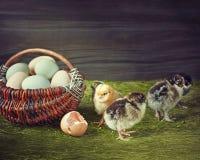 Aventures des poussins nouveau-nés Image stock