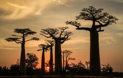 Avenue of the Baobabs, Morondava, Menabe Region, Madagascar. The Avenue or Alley of the Baobabs is a prominent group of baobab Adansonia grandidieri trees lining Royalty Free Stock Image