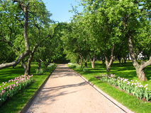 Avenue in apple garden. Spring. Recorded in park Kolomenskoye Moscow Royalty Free Stock Photo
