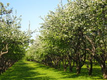 Avenue in apple garden in blossom. Avenue in apple garden, spring, trees in blossom with white flowers, blue sky, green grass Stock Image