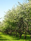 Avenue in apple garden in blossom. Avenue in apple garden in spring, trees in blossom with white flowers, blue sky, green grass Stock Photos