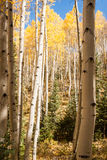 Avenue of Aspens Stock Photos