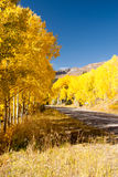 Avenue of Aspens Royalty Free Stock Photo