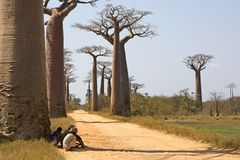 Avenue of baobab near Morondava Royalty Free Stock Image