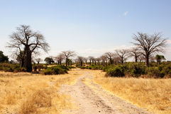 An Avenue of Baobab trees Stock Image