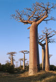 Avenue of the Baobabs Royalty Free Stock Images