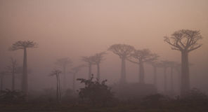 Avenue of baobabs at dawn in the mist. General view. Madagascar. An excellent illustration stock images