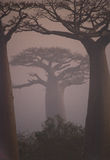 Avenue of baobabs at dawn in the mist. General view. Madagascar. Royalty Free Stock Image