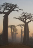 Avenue of baobabs at dawn in the mist. General view. Madagascar. An excellent illustration royalty free stock photo