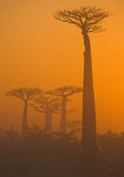 Avenue of baobabs at dawn in the mist. General view. Madagascar. Royalty Free Stock Photos