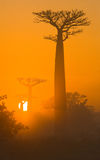Avenue of baobabs at dawn in the mist. General view. Madagascar. Stock Photography