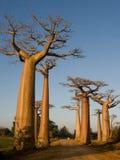 Avenue of baobabs. General view . Madagascar. Stock Photos