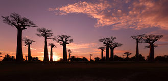 Avenue of the Baobabs, Madagascar. Avenue of the Baobabs with dramatic sky at sunset near Morondava, Madagascar Stock Photo
