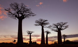 Avenue of the Baobabs, Madagascar Royalty Free Stock Images