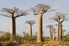 Avenue of the Baobabs - Morondava, Madagascar. Avenue of the Baobabs in october - Morondava, Madagascar Royalty Free Stock Photo