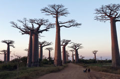 Avenue of the Baobabs Royalty Free Stock Photo