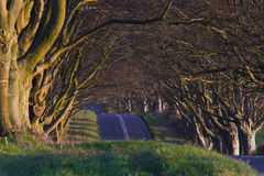 Avenue of beech trees. Royalty Free Stock Photo