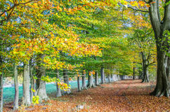 Avenue of Beech Trees in Autumn Royalty Free Stock Photo