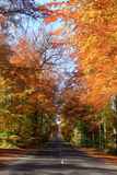 An avenue of beeches Stock Photos