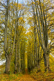 Avenue of big trees. Royalty Free Stock Photo