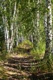 Avenue of birches Stock Photo