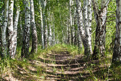 Avenue of birches Royalty Free Stock Photo