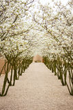 Avenue with blossom apple trees Stock Images
