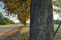 Avenue of chestnut trees. Chestnuts on the road. Autumn walk down the street. Stock Photos