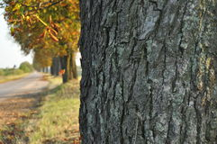 Avenue of chestnut trees. Chestnuts on the road. Autumn walk down the street. Royalty Free Stock Photos