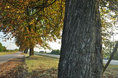 Avenue of chestnut trees. Chestnuts on the road. Autumn Royalty Free Stock Photography