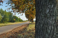 Avenue of chestnut trees. Chestnuts on the road. Autumn Royalty Free Stock Photo