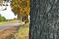 Avenue of chestnut trees. Chestnuts on the road. Autumn walk Royalty Free Stock Photo