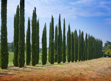 Avenue of cypresses. Italy. Tivoli.Landscape in a sunny day Royalty Free Stock Images