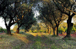 Avenue d'Olive Trees par une cour de vigne Photographie stock