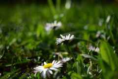 Avenue of daisy. Flowers on the meadow Royalty Free Stock Image