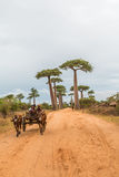 Avenue de Baobab in Madagascar Royalty Free Stock Image