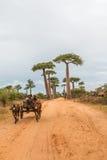 Avenue de Baobab in Madagaskar Lizenzfreies Stockbild