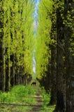 Avenue de bouleau Photographie stock libre de droits