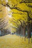 Avenue de Ginko dans le matin photo libre de droits