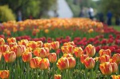 Avenue de tulipes Image libre de droits
