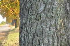 Avenue des arbres de châtaigne Châtaignes sur la route Photo stock