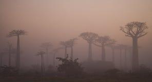 Avenue des baobabs à l'aube dans la vue générale de brume madagascar images stock