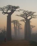 Avenue des baobabs à l'aube dans la vue générale de brume madagascar photo stock