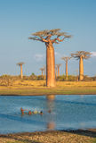Avenue des baobabs, Madagascar Photo libre de droits
