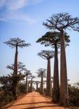 Avenue des baobabs, Morondava, région de Menabe, Madagascar photos stock